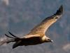 vautour-fauve.